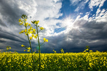 Load image into Gallery viewer, Canola Flowers blooming in the Sun