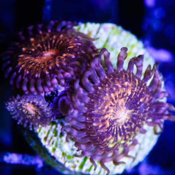 Fairy Dust Zoanthids