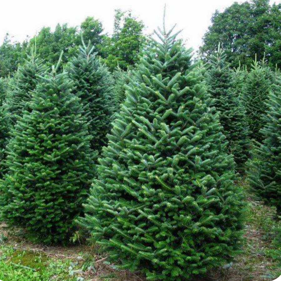 Balsam Fir Christmas Tree-Christmas Trees-Christmas Delivered