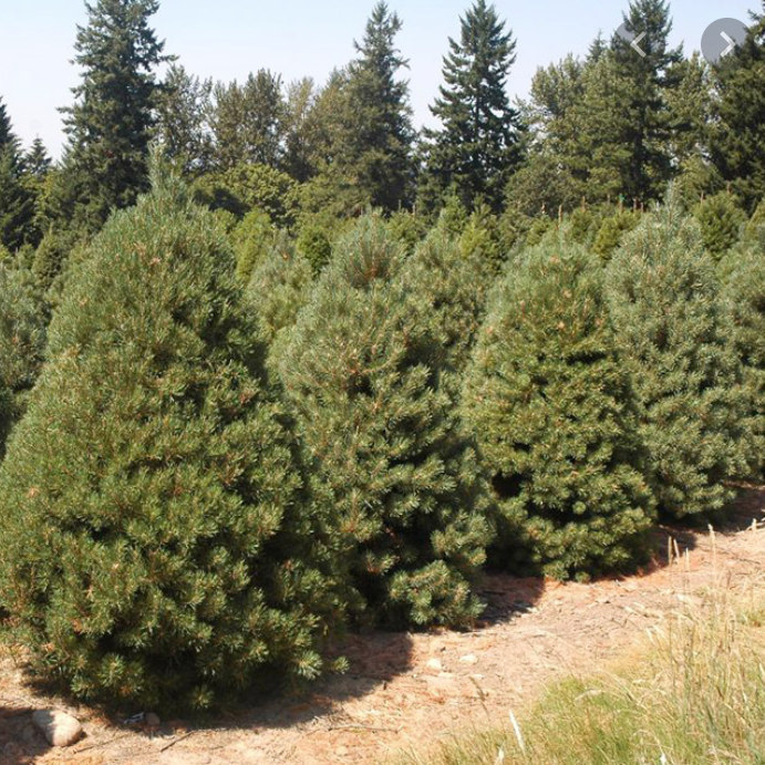 Scotch Pine Christmas Tree-Christmas Trees-Christmas Delivered
