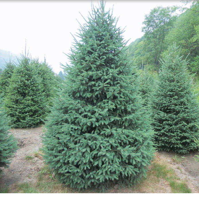 Black Hills Spruce Christmas Tree-Christmas Trees-Christmas Delivered