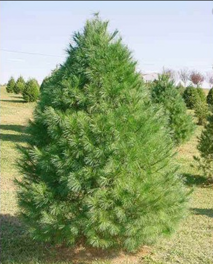 White Pine Christmas Tree-Christmas Trees-Christmas Delivered