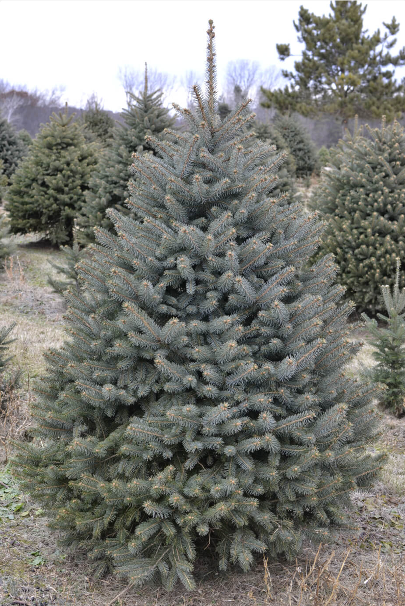Blue Spruce Christmas Tree-Christmas Trees-Christmas Delivered