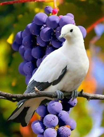 Beautiful Dove & Bunch of Grapes Diamond Painting