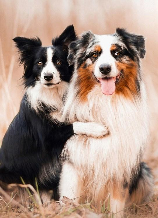 Collie Dogs Pair Paint with Diamonds