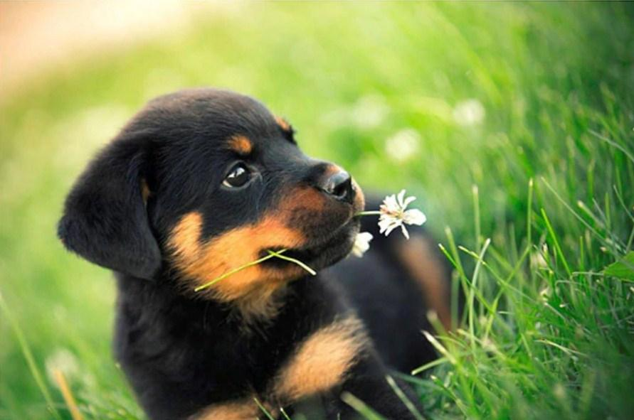 Cute Rottweiler Puppy Diamond Painting Kit