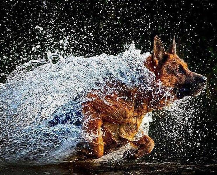 German Shepherd Running in Water Diamond Painting