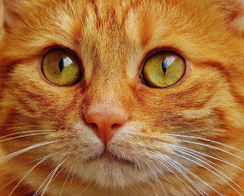 Orange Tabby Cat Paint by Diamonds