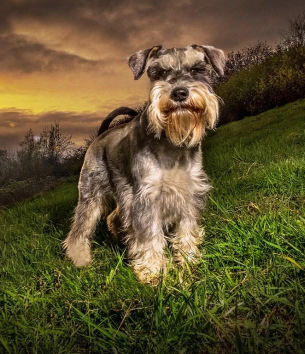 Schnauzer Dog Diamond Painting Kit