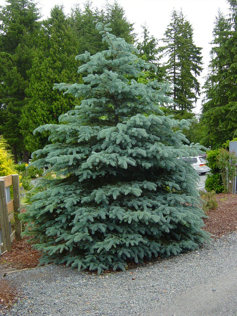 59 - Colorado Blue Spruce - Fat Albert