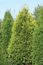 Load image into Gallery viewer, 320 - Arborvitae - Emerald Green - 10 Gal