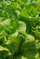 Lettuce, Butterhead (Boston Type) - 1 kg