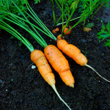 Carrot, Nantes Type True Baby - 300 gram