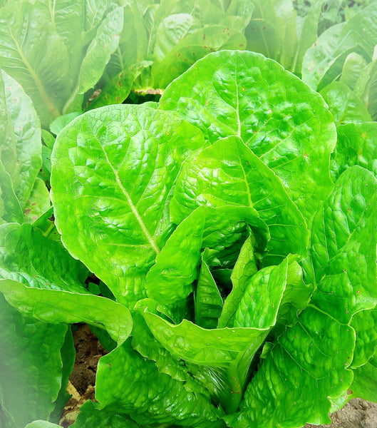 Lettuce, Romaine Head - 1 kg