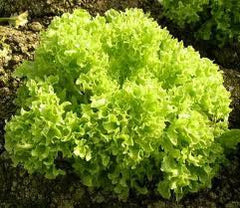 Lettuce, Lollo Bionda Green Leaf - 2kg
