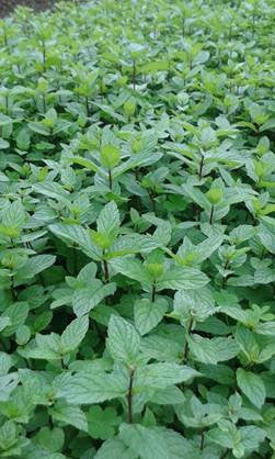 Mint, English Garden Mint - 1 kg