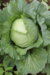 Cabbage, Green - 1 kg