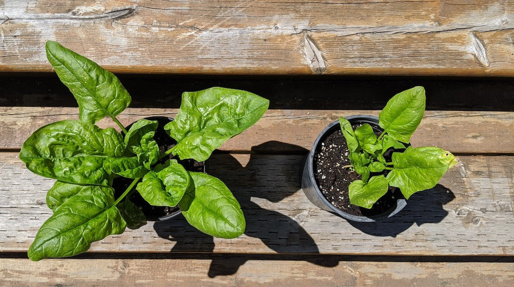 Worm Casting Results on Spinach