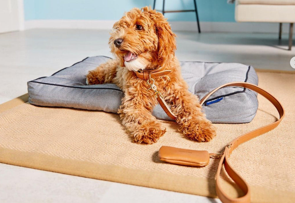 Dog lying on bed with leash