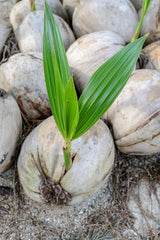 A coconut sprouts from the remnants of a dropped coconut.