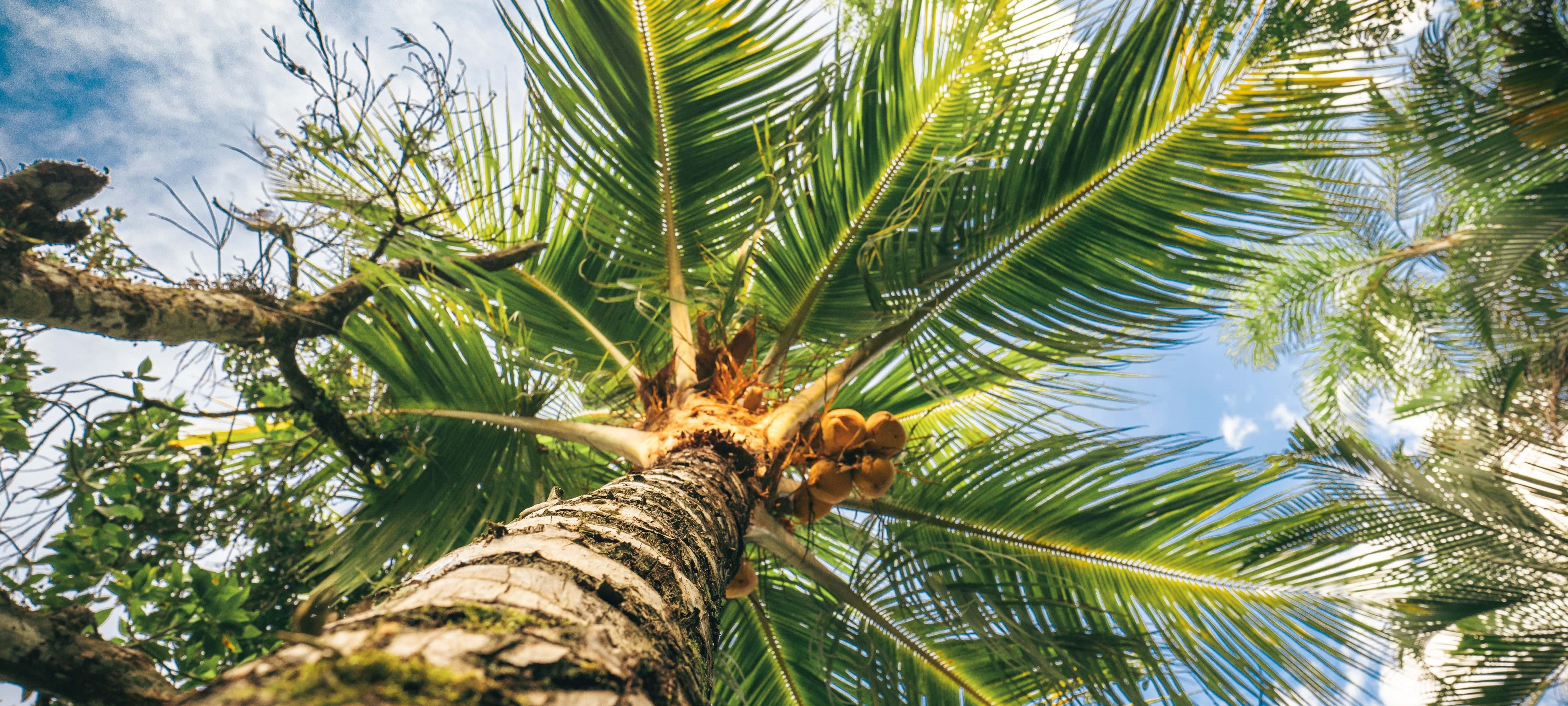 A coconut tree from below. A gorgeous blue sky above its palm tree-esque branches.
