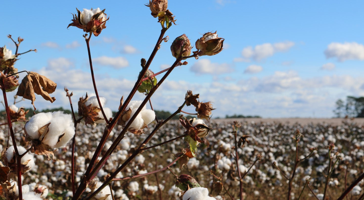 Shows cotton field with beautiful blue sky; demonstrating despite being beautiful, cotton is not sustainable as a disposable product.
