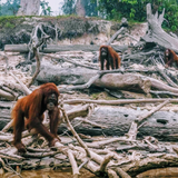 Three orangutan stand in a deforested area they used to call home.