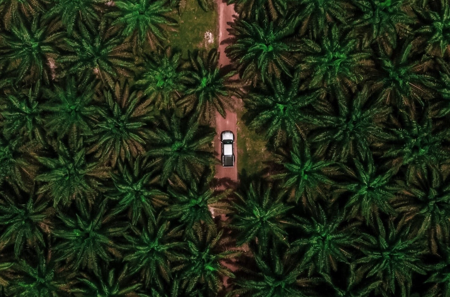Palm oil trees from aerial view. A car drives through centre road.