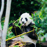 A happy panda eats bamboo in a beautiful green forest.