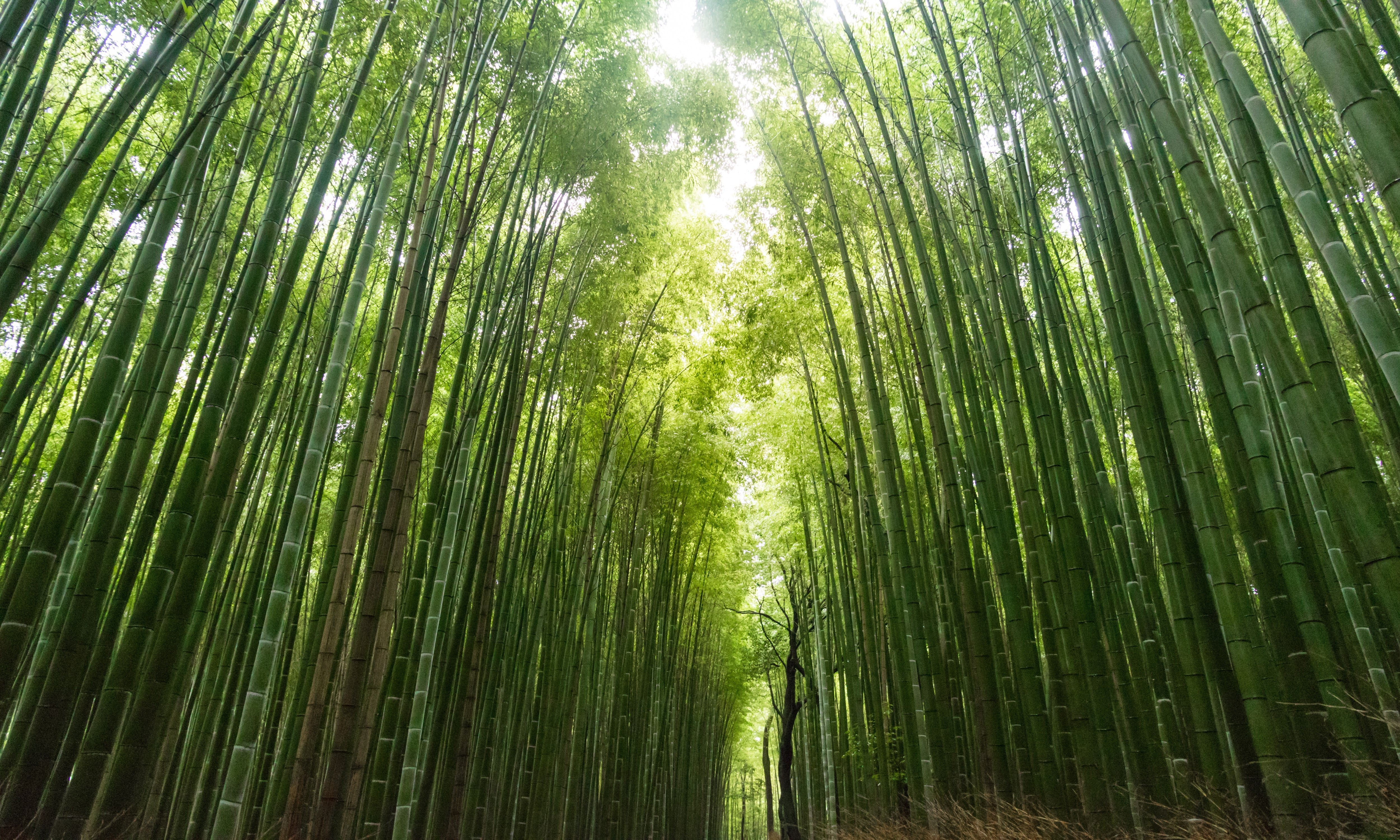 Green bamboo trees grow beautifully side by side in a forest. The sun shimmers through to the dark floor.