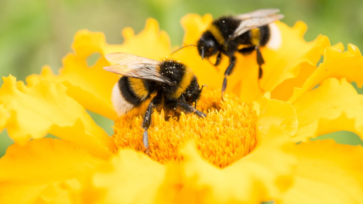 Two bees pollinate separate yellow flowers.