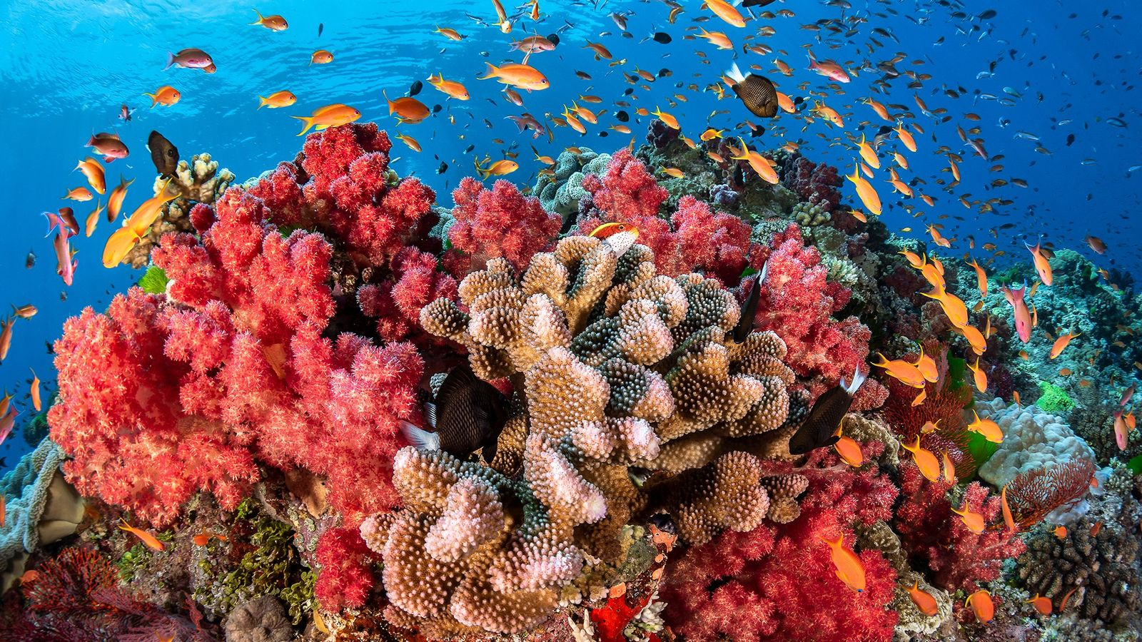 A beautiful red coral reef grows surrounding by schools of fish.
