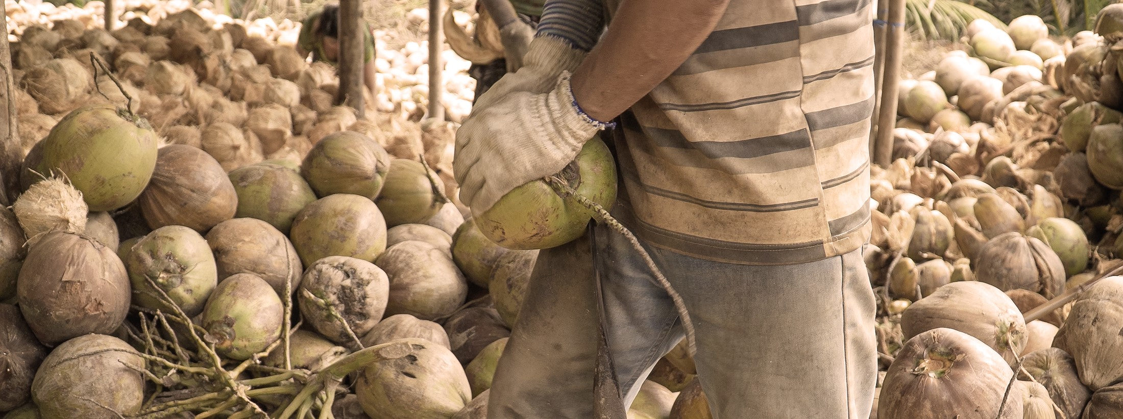 A Vietnamese man removes the husk from a coconut.