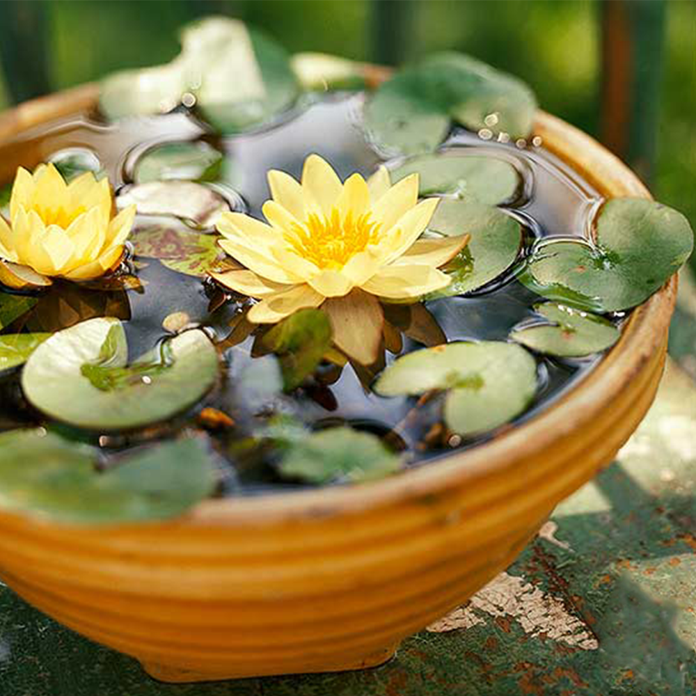 Bonsai Water Lily Flower Seeds