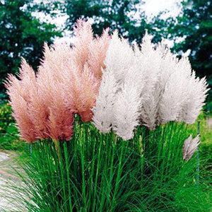 Extra Fluffy Pampas Grass Seeds (100 PCS)