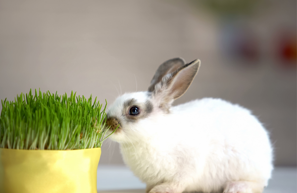 Bunny eating grass