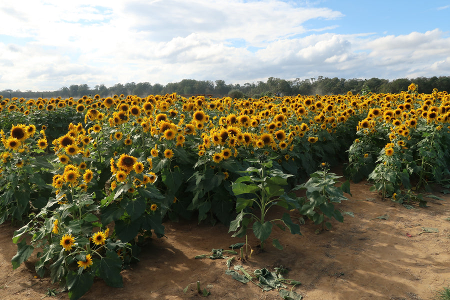 Sunflower Heaven at Holland Ridge Farms!