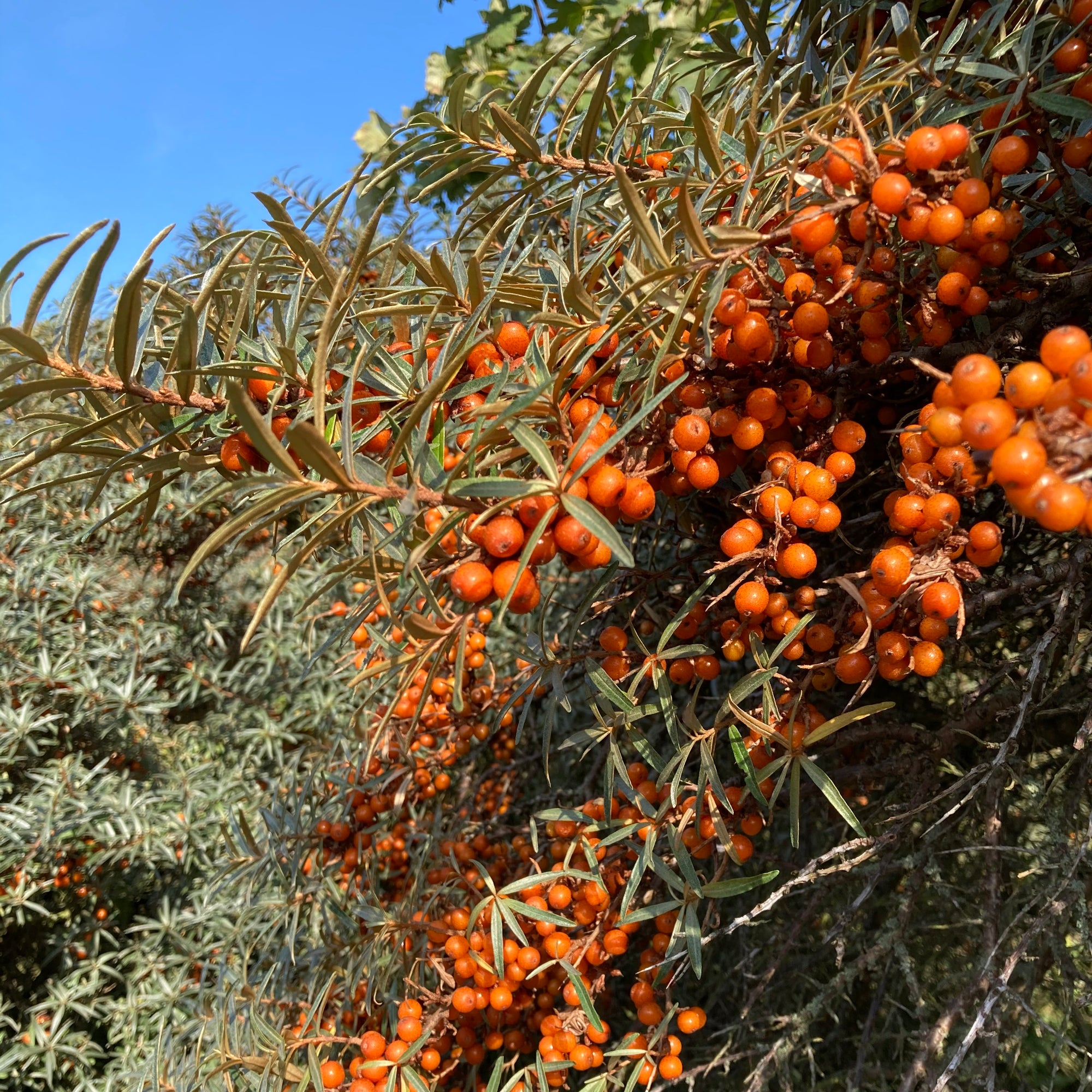Special Edition Scottish Sea Buckthorn Oil