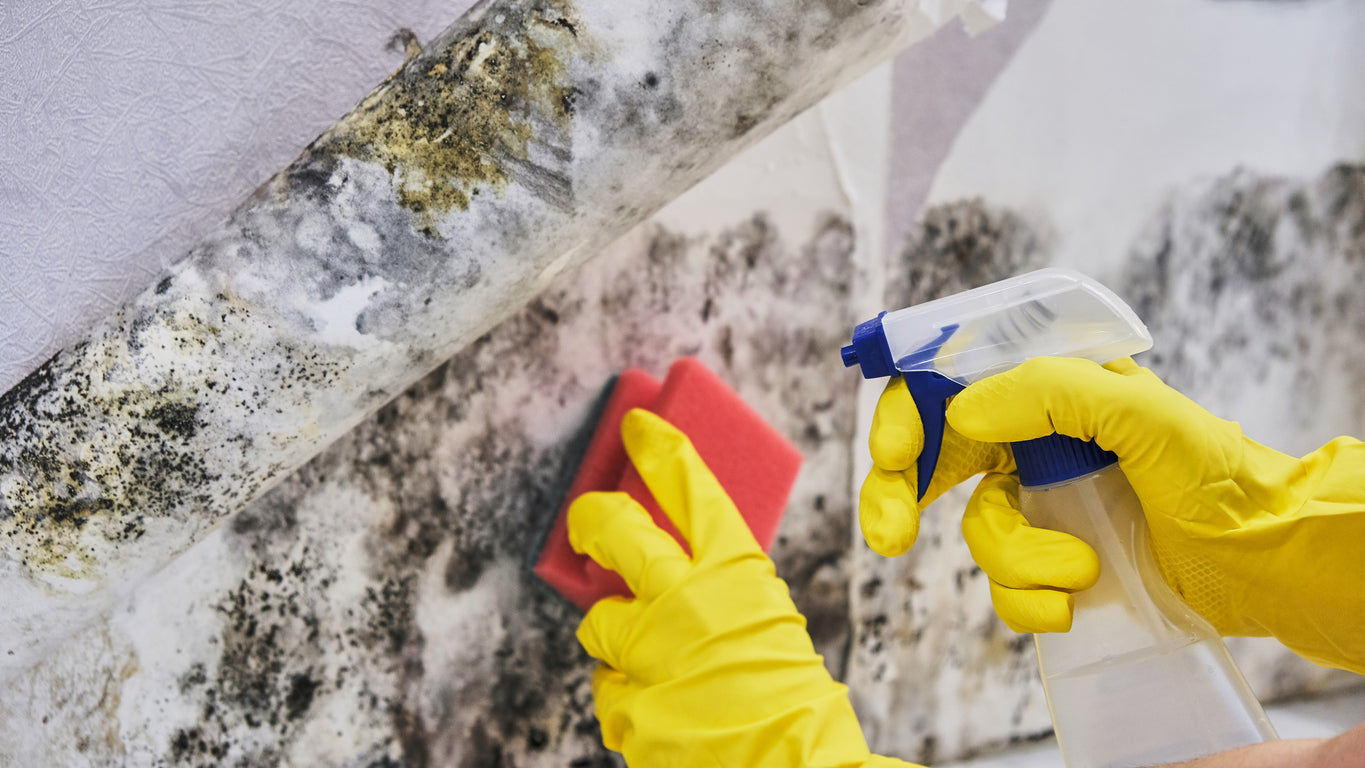removing mold with gloves and a cleaner