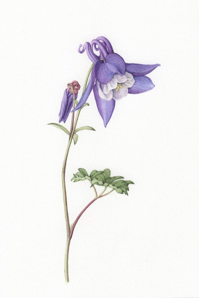 Aquilegia 'Spring Magic' - limited edition fine art print