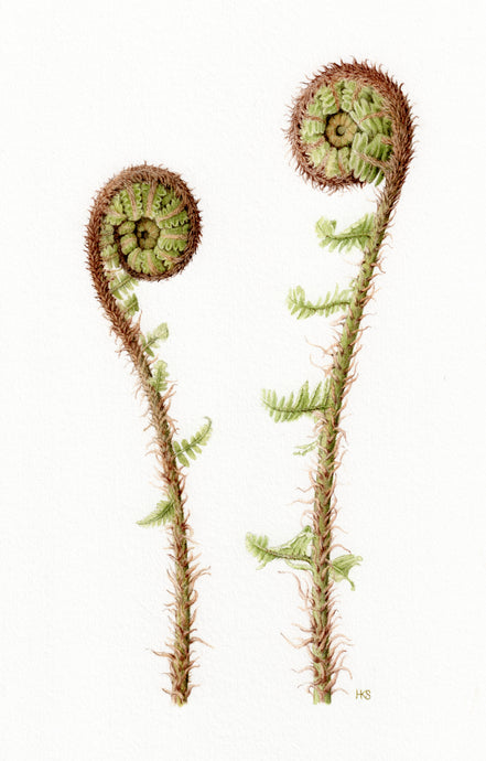 Coiled Ferns - limited edition fine art print
