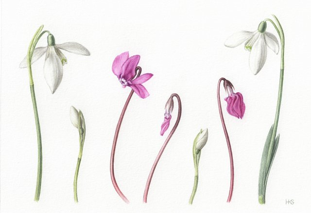 Cyclamen and Snowdrops - limited edition fine art print