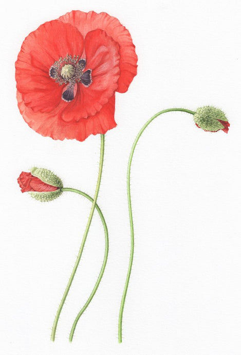 Field Poppy - limited edition fine art print