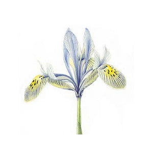 Iris - botanical art print