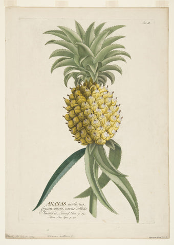 Ehret. Ananus Sativus (Pineapple)