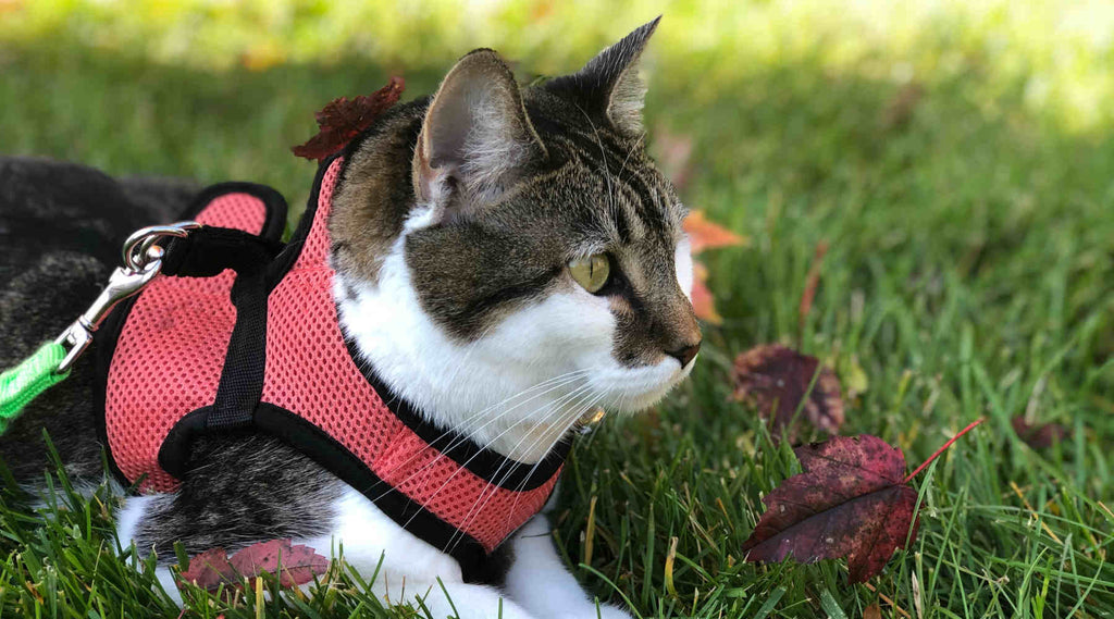 cat with harness laying down on grass