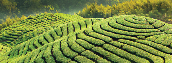 Young White Tea Fields.png