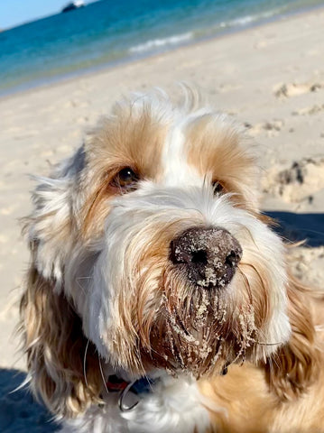 Cute dog Ted with sand on nose at beach