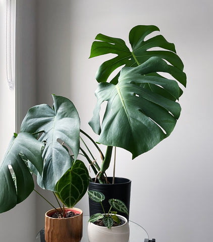 monstera deliciosa, house plants