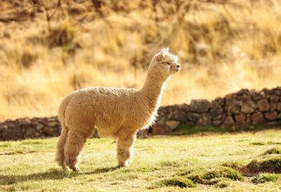 7 Reasons to Love Alpaca Wool